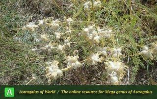 Astragalus megelotropis 2