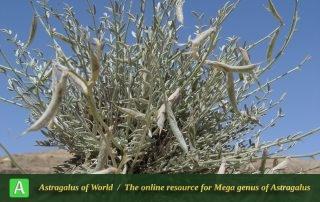 Astragalus mehranensis - Photo by Mozaffarian