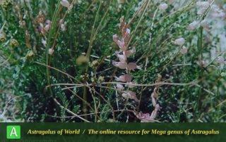 Astragalus melanogramma 2 - Photo by Maassoumi