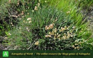 Astragalus melanogramma - Photo by Mirtadzhaddin