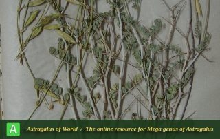 Astragalus memoriosus 2 - Hol.