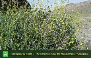 Astragalus memoriosus - Photo by Joharchi