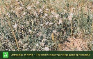 Astragalus michauxianus 2 - Photo by Maassoumi