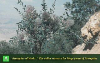 Astragalus michauxianus - Photo by Maassoumi