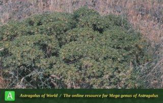 Astragalus microcephalus subsp. microcephalus - Photo by Maassoui