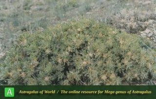 Astragalus microcephalus subsp. pycnocladus - Photo by Maassoumi