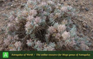 Astragalus microphysa 3 - Photo by Batooli