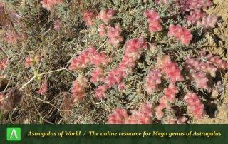 Astragalus microphysa 4