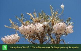 Astragalus microphysa - Photo by Batooli
