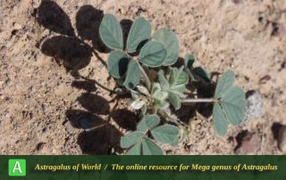 Astragalus migpo - Photo by Taheria