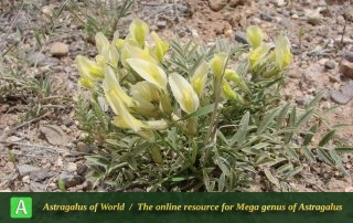 Astragalus montis-queydari 2 - Photo by Ramazani