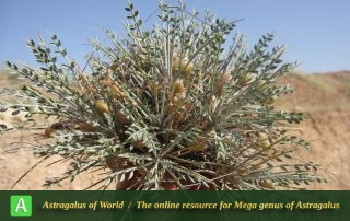 Astragalus mucronifolius 4 - Photo by Bagheri