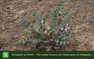 Astragalus mucronifolius - Photo by Batooli
