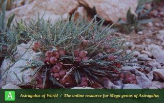 Astragalus murinus 2 - Yassuj,Bijan