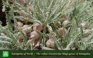Astragalus murinus - Photo by Mozaffarian