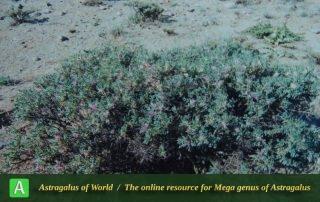 Astragalus muschianus