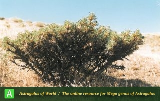 Astragalus muschianus 2 - Photo by Assadi