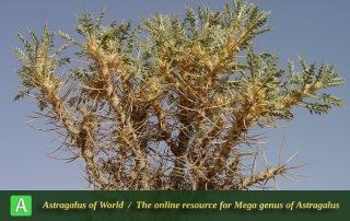 Astragalus myriacanthus 2 - Photo by Mozaffarian