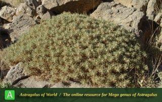 Astragalus myriacanthus 3 - Photo by Mozaffarian