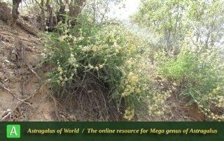 Astragalus obtusifolius 2 - Photo by Naanaie