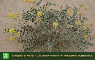 Astragalus obtusifolius 3