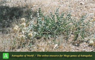 Astragalus obtusifolius - Photo by Maassoumi