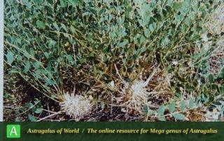 Astragalus oleaefolius 2