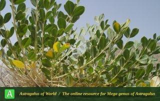 Astragalus oleaefolius 3 - Photo by Mozaffarian