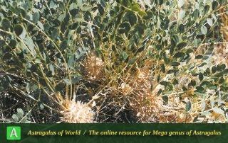 Astragalus oleaefolius 4 - Photo by Maassoumi