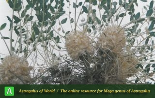 Astragalus oleaefolius 5 - Photo by Maassoumi