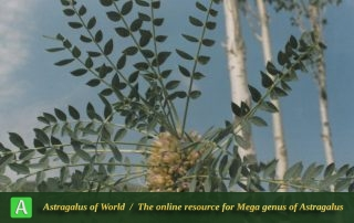 Astragalus oleaefolius - Photo by Maassoumi