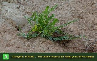 Astragalus ovinus 3