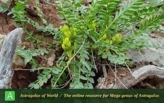 Astragalus ovinus 5