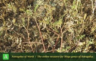 Astragalus oxyglottis 2 - Photo by Maassoumi