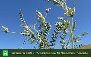 Astragalus oxyglottis 3 - Photo by Maassoumi