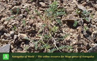 Astragalus oxyglottis 4 - Photo by Taheria