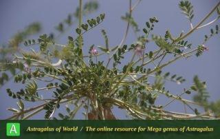 Astragalus oxyglottis 6 - Photo by Mozaffarian