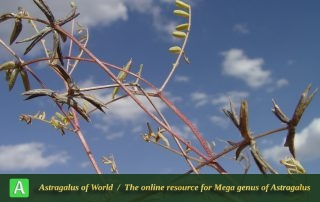 Astragalus oxyglottis 7 - Photo by Mozaffarian