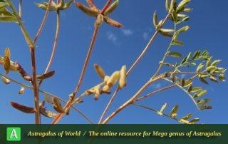 Astragalus oxyglottis 8 - Photo by Maassoumi