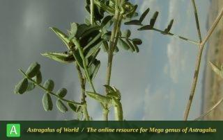 Astragalus oxyglottis 9 - Photo by Mozaffarian