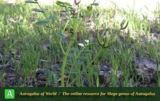 Astragalus oxyglottis - Photo by Bidar