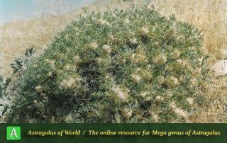 Astragalus paralipomenus - Photo by Maassoumi