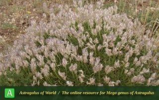 Astragalus paralurges 2 - Photo by Eftekhar