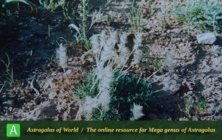 Astragalus paralurges 3 - Photo by Maassoumi
