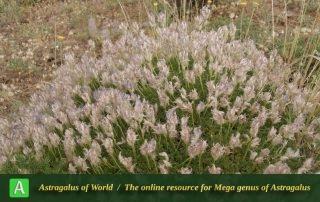 Astragalus paralurges - Photo by Eftekhar