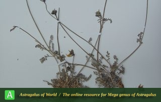 Astragalus parvarensis