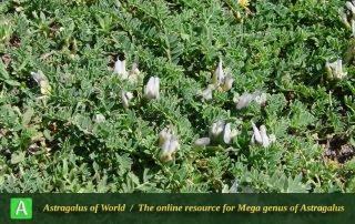 Astragalus pauperiflorus - Photo by Mozaffarian