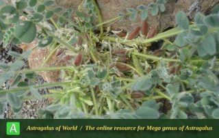Astragalus pellitus 2 - Photo by Taherian