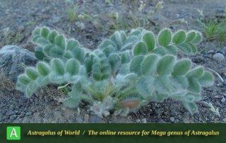 Astragalus pellitus - Khorassan