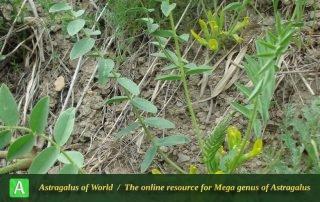 Astragalus pinetorum subsp. declinatus 2 - Photo by Bidar